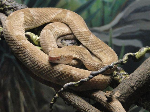 Serpiente Queimada Grande